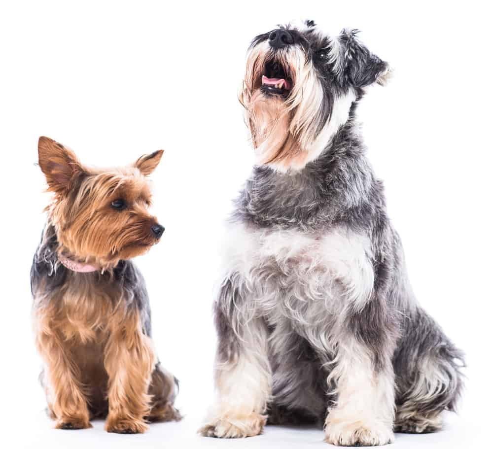 Happy Yorkie and schnauzer sitting waiting patiently side by side on a white background with the schnauzer looking up towards blank white copyspace